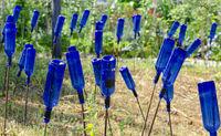 Blaue leere Weinflaschen stecken auf Stangen von Betonstahl im  Gartenboden