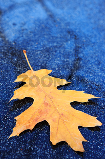 Yellow oak leaf isolated on a gray background.