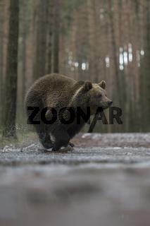 im Sprint... Europäischer Braunbär *Ursus arctos*