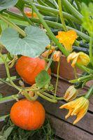 Hokkaido pumpkins ripening in the flowerbed