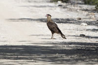 young northern crested caracara which stands on the road on a bright sunny day