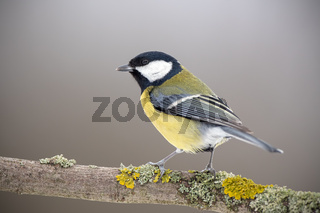 Great tit in winter sitting on a perch covered with yellow moss.