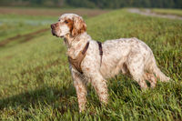 Handsome Orange Belton English Setter on the lookout