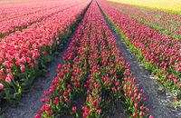 Bunte Tulpenfelder