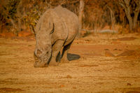 White rhino grazing in the golden light.