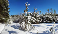 This is an image of a forest  after a heavy snow