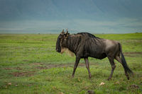 White-bearded wildebeest walks across grassland in sunshine