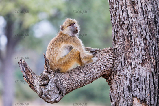 Steppenpavian, South Luangwa Nationalpark, Sambia, (papio cynocephalus) | baboon, South Luangwa National Park, Zambia, (papio cynocephalus)