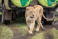 Lioness walking on muddy grass looks down