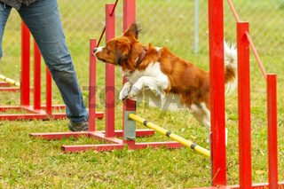 A young australian shepherd dog learns to jump over obstacles in agility training.
