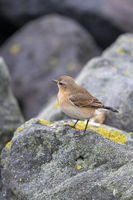 Songbird The Wheatear Oenanthe oenanthe