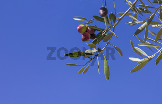 Red and green olives on the branch with space for text