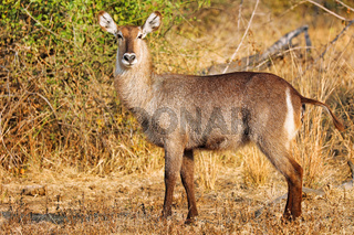 Wasserbock, South Luangwa NP, Sambia, (Kobus ellipsiprymnus)   Waterbuck, South Luangwa NP, Zambia, (Kobus ellipsiprymnus)