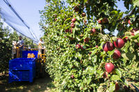 Harvest apples in big industrial apple orchard. Machine for picking apples.