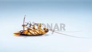 Macro one cockroach lay dead