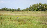stork near Illmitz in Austria