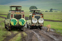 Lioness on muddy grass meadow passes jeeps