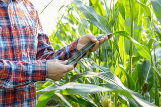 Farmer inspecting leaves of corn stalks at field