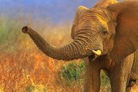 African Elephant in savannah