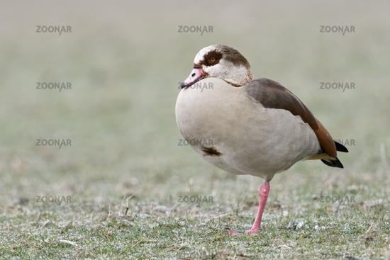 auf einem Bein stehend... Nilgans * Alopochen aegyptiacus * auf frostigem Boden