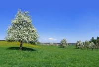 Blühende Obstbäume auf einer großen Wiese