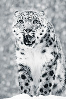 Snow Leopard in Snow Storm VII BW