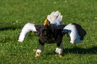 The Steller's sea eagle, Haliaeetus pelagicus s a large bird of prey
