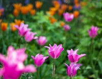 Blooming pink tulip in a garden with blurred background