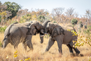 Two big male Elephants playing.