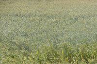 künstlicher Regen... Bewässerung *Rekordsommer*, Bewässerung eines Getreidefeldes im Sommer 2018