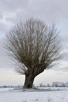 mit ein wenig Schnee... Kopfbaum * Niederrhein *, Bislicher Insel, Niederrhein