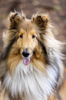 Shetland Sheepdog (AKA Sheltie) Tri Color Male Portrait.