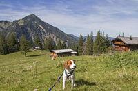 Beagle mit Bodenalm und Wallberg