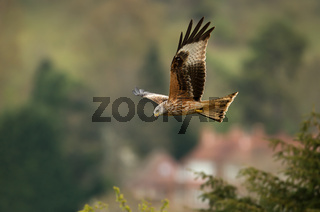 Red kite in flight in countryside