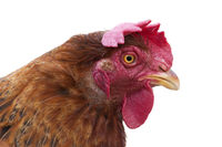 Hen head, isolated on white background