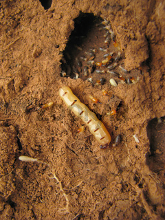 Queen Termite at the entrance of her nest, Pune, Maharashtra