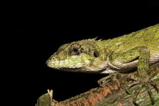 Anaimalai spiny lizard, Salea anamallayana, Agamidae at Anamudi shola National Park in Kerala, India.