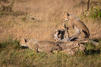 Cheetah cubs sitting and standing by log