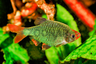 Portrait of aquarium fish - Sumatra barb (Puntigrus tetrazona) in a aquarium