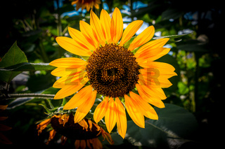 Big bright golden sunflower with green leaves and dark background