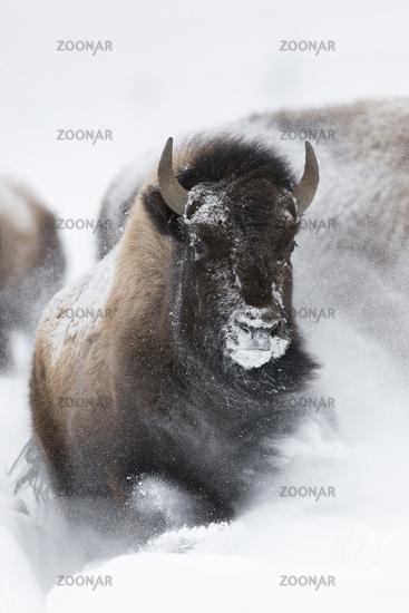 Stampede...  Amerikanische Bisons * Bison bison *
