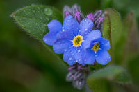 Close up of a Forget-me-not flower with water droplets on the blue blossoms