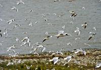 Ein Schwarm Lachmöwen (Chroicocephalus ridibundus) im Flug über der Nordsee