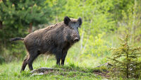 Dominant wild boar displaying on a hill near little spruce tree.