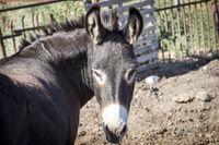 Schwarzer Esel auf einem Bauernhof