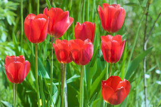 Тulips friends. Spring tulips in the garden. A group of red tulips on a green background shining.