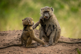 Baby reaches for food from olive baboon