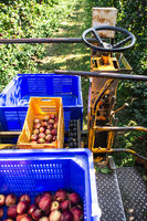 Harvest apples in big industrial apple orchard. Machine and crate for picking apples.