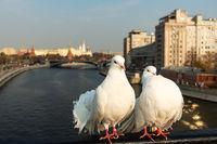 Two white dove birds sit on a bridge rail