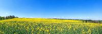 Blühendes, leicht abfallendes Rapsfeld im Frühling